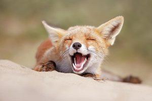 nevető róka